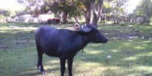Búffalo em Caracará do Arari-Foto:resende