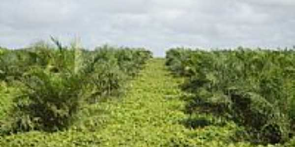 Concórdia do Pará-PA-Plantação de Dendê-Foto:PEDRO PAULO