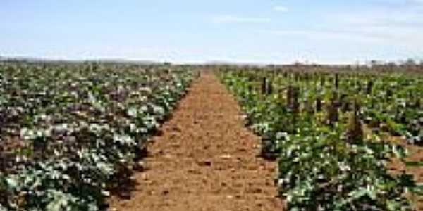 Plantação de mamona em Cafarnaum-BA-Foto:Admirando o Brasil e…