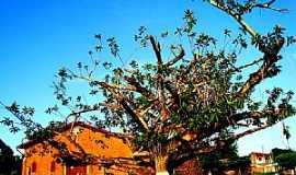 Mojuí dos Campos - Mojuí dos Campos-PA-Árvore quase centenária na praça da Igreja de Sto.Antônio-Foto:Laurinei Marquio