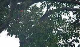 Novo Progresso - Arara Vermelha Grande em Novo Progresso-PA-Foto:Ernandi Schnurr