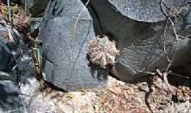 Campo Formoso - Cacto entre pedras em Campo Formoso-BA-Foto:Guaruja