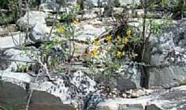 Campo Formoso - Flores entre pedras em Campo Formoso-BA-Foto:Guaruja