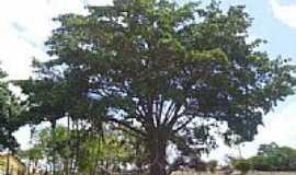 Arara - Grande �rvore no S�tio Volta de Baixo-Foto:Thiago PB