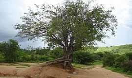 Juru - Juru-PB-�rvore � beira do A�ude Timba�ba-Foto:Torquato Neto