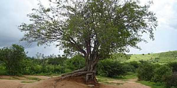 Juru-PB-Árvore à beira do Açude Timbaúba-Foto:Torquato Neto