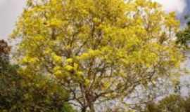 Rio Tinto - Ipê Amarelo (Desabrocham no verão), Por José Medeiros de Lima