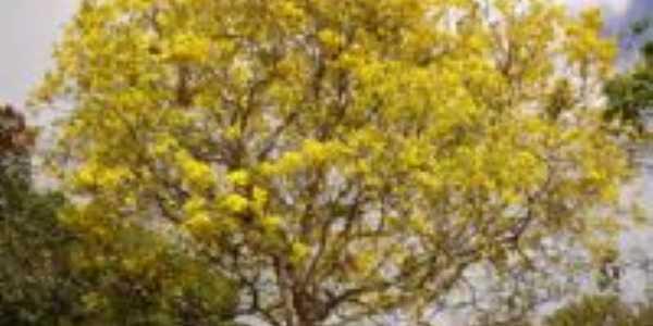 Ipê Amarelo (Desabrocham no verão), Por José Medeiros de Lima