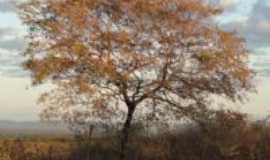São João do Rio do Peixe - Árvore que faz parte na nossa Caatinga no Sertão, POR LAMARTINE NOBRE., Por LAMARTINE NOBRE