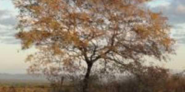 �rvore que faz parte na nossa Caatinga no Sert�o, POR LAMARTINE NOBRE., Por LAMARTINE NOBRE