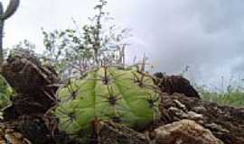 Soledade - Tipo de cacto em Soledade-PB-Foto:Aderbal Nunes