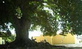 Carneiro - Árvore grande em Carneiro-Foto:Élida Goes