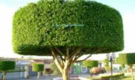 Jucati - Árvore no centro da cidade  Por Aluysio Shekinah Morais
