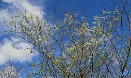 Jurema - Jurema-PE-Pés de Jurema floridos-Foto:helio freire da silva