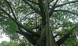 Recife - Baob� gigante em Recife-Foto:Luiz Maron
