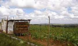 Coração de Maria - Plantação de Tabaco-Foto:Zeolithe