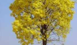 Fronteiras - Tem IPÊ amarelo em Fronteiras_PI, Por Prof. Ilza Bezerra(Fronteiras a Teresina)