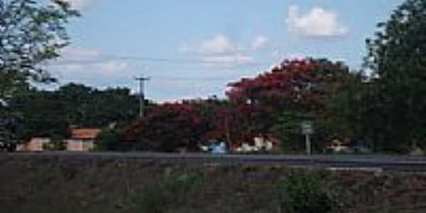 Flamboyant na beira da rodovia em Ipiranga do Piauí-Foto:Eliel Damasceno