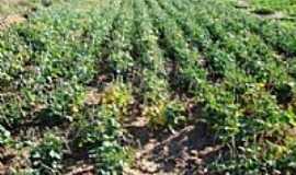 Itaueira - Plantação