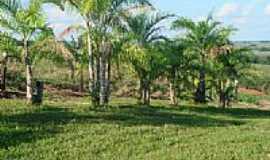 Altônia - Plantação de Palmito pupunha em Altônia-Foto:Lautenir