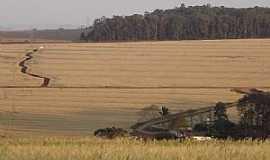 Apucarana - Apucarana-PR-Plantação de trigo-Foto:Aluisio Ribeiro 2