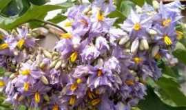 Geolândia - Flora de Geolândia.  Exuberante tufo de flores silvestres de jurubeba., Por José Tavares de Lira
