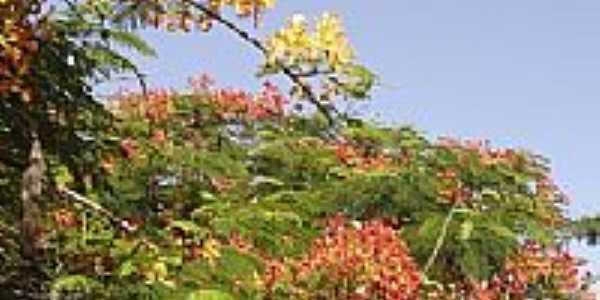 Flamboyants floridos em Grandes Rios-PR-Foto:Aluisio Ribeiro 2
