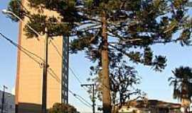 Guarapuava - Símbolo do Paraná,pinheiro de Araucária, em Guarapuava-PR-Foto:Paulo Yuji Takarada