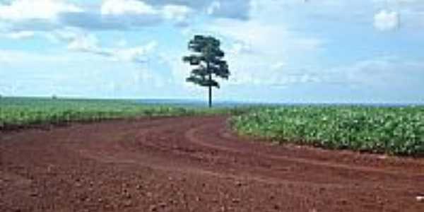 Árvore solitária nos campos de soja em Malu-Foto:João Carlos Benetton