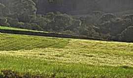 Mandirituba - Mandirituba-PR-Plantação de Camomila-Foto:Alcides Koglin