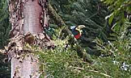 Mangueirinha - Tucano em um galho de Araucária em Mangueirinha-PR-Foto:jonasteló