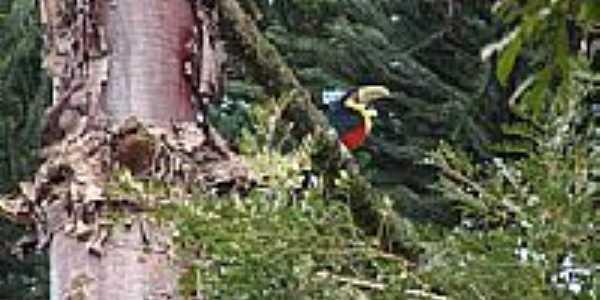 Tucano em um galho de Araucária em Mangueirinha-PR-Foto:jonasteló