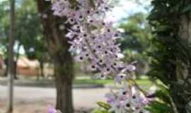 Maripá - Orquideas - Maripá, Por Edison Caetano