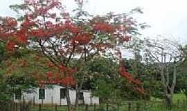 Ibirataia - Ibirataia-BA-Flamboyant em �rea rural-Foto:MARCELO S F