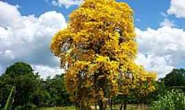 Ibirataia - Ipê amarelo em área rural de Ibirataia-BA-Foto:renefair