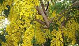 Ibitiara - A beleza da Acácia amarela em Ibitiara-BA-Foto:Eunilson Alves de Ol…