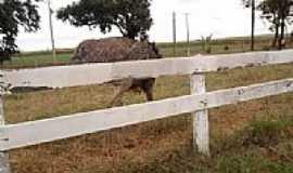 Ourizona - Avestruz-Foto:Odair dos Reis