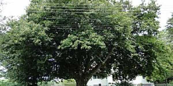 Samambaia-PR-Árvore de Castanha Portuguesa-Foto:Ricardo Mercadante