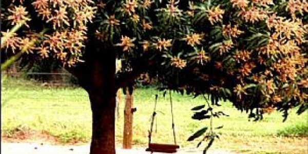 Santa Esmeralda-PR-Balanço na mangueira em flor-Foto:zanicotti.blogspot.com