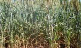 Santa Mariana - O trigo cresce lentamente sob a vigilha do sol, Por Valdir