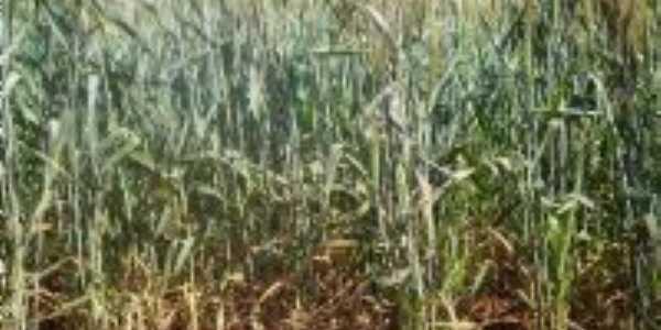 O trigo cresce lentamente sob a vigilha do sol, Por Valdir