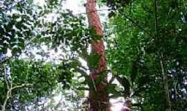 Ilhéus - Pau Fogo,tronco vermelho e folhas bem verdes, em Ilhéus-BA-Foto:Caio Graco Machado