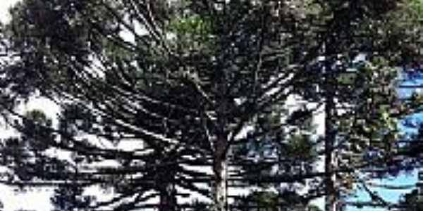 Araucária em Santo Antônio do Iratim-Foto:MarcosMoreira