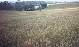 São João - Plantação de trigo-Foto:Claudemir Vanceta
