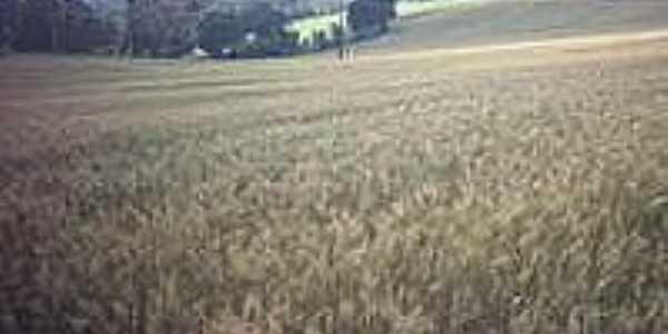 Plantação de trigo-Foto:Claudemir Vanceta
