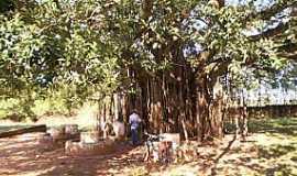 São João do Caiuá - São João do Caiuá-PR-Grande árvore centenária-Foto:saojoaocaiua.blogspot.