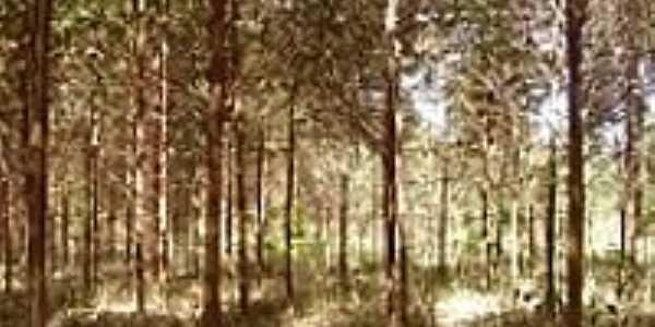 Eucalíptos-Foto:ricardocassel