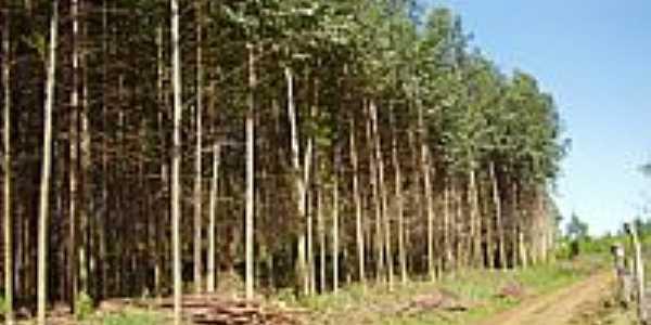 Reflorestamento de Eucalípto-Foto:ricardocassel
