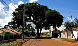 Toledo - Árvore centenária no meio da Rua Mathias Furt em Toledo-Foto:Ricardo Mercadante