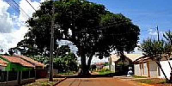 Árvore centenária no meio da Rua Mathias Furt em Toledo-Foto:Ricardo Mercadante
